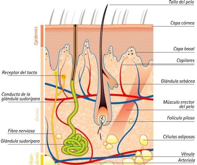 Qué saber sobre la piel